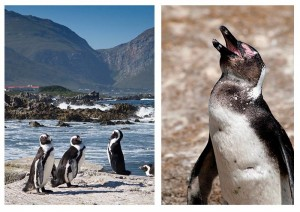 """African penguins at Stony Point (Picture: Marion Whitehead, """"Country Life"""", 24 June 2016)"""